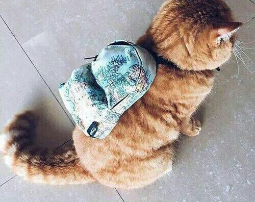 cat wearing a backpack