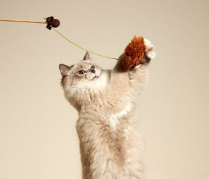 cat leaping for wand toy