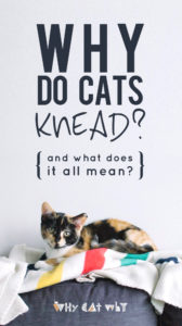 One of our kitties' strangest (and most endearing) behaviors, explained. #cats #whycatwhy