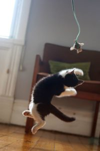 playing kitten leaping for toy