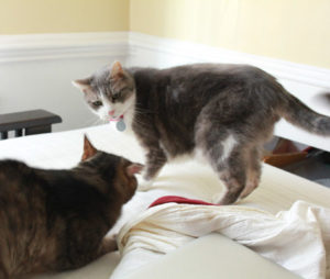 thrashing tail cat standoff